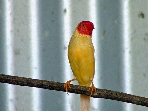 Yellow star finch - photo#6