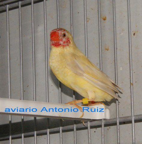 Diamante ruficauda amarillo