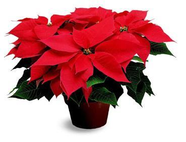 Give A Poinsettia Brings Good Luck